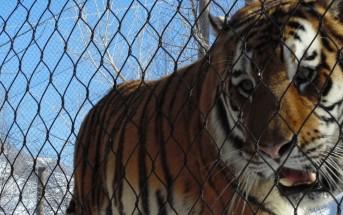 Direito dos Animais Tigre Preso